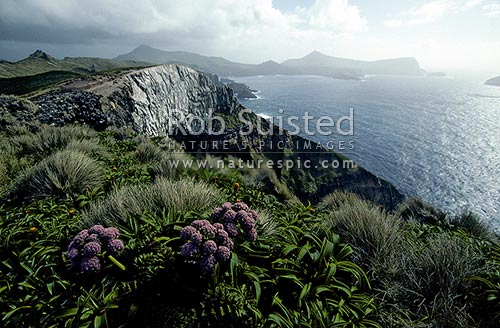 Flowering Anisotome latifolia high above Northwest Bay, Campbell Island, Campbell Island, NZ Sub Antarctic District, NZ Sub Antarctic Region, New Zealand (NZ) stock photo.