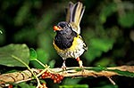 Male Stitchbird/Hihi