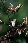 Sparrow in flax