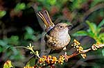 Female Stitchbird/Hihi