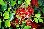 Native mistletoe flowers & foliage