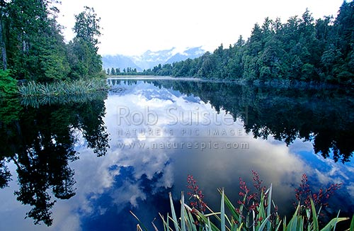 Tranquil scenes at Lake Matheson with flax (Phormium sp.) flowering in foreground; Southern Alps in background, Westland National Park, Westland District, West Coast Region, New Zealand (NZ) stock photo.