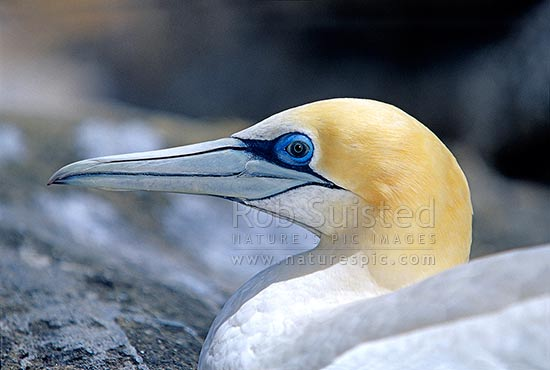 Close up of Gannet (Morus serrator / Sula serraor), or Takapu, head; Cape Kidnappers Gannet Colony, Hawke's Bay, New Zealand (NZ) stock photo.