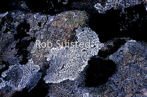 Lichen on rock. close up. Mount Cook National Park, Aoraki / Mount Cook National Park, New Zealand (NZ) stock photo.