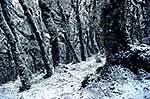 Beech Forest in snow