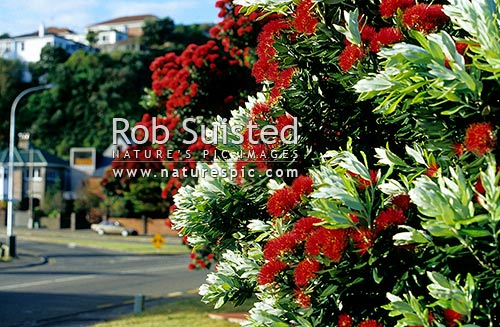 Pohutukawa flowers (Metrosideros excelsa), 'New Zealand Christmas Tree', native to New Zealand. Houses in distance, Wellington, Wellington City District, Wellington Region, New Zealand (NZ) stock photo.