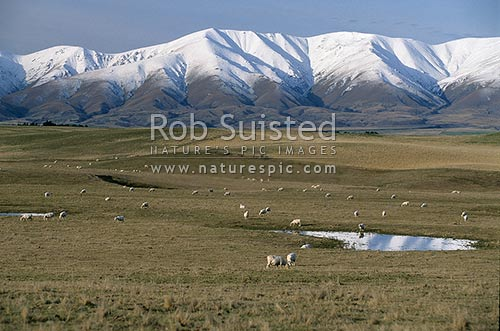 Sheep farming in front of the snow covered Hawkdun Range, Central Otago, Otago - Central, Central Otago District, Otago Region, New Zealand (NZ) stock photo.