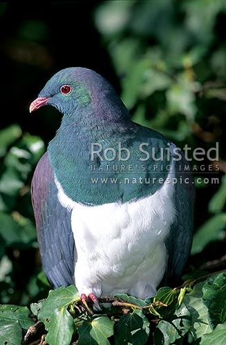 New Zealand native bird the Wood Pigeon (Hemiphaga novaeseelandiae); Kereru. perched on a branch, looking at camera with one eye, Wellington, Wellington City District, Wellington Region, New Zealand (NZ) stock photo.