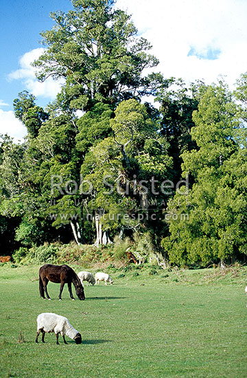 Farmland amongst podocarp forest; Kereu valley, East Cape, Opotiki District, Bay of Plenty Region, New Zealand (NZ) stock photo.