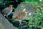 Two Banded Rail birds