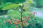 Wineberry flowers and foliage