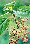 Native wineberry