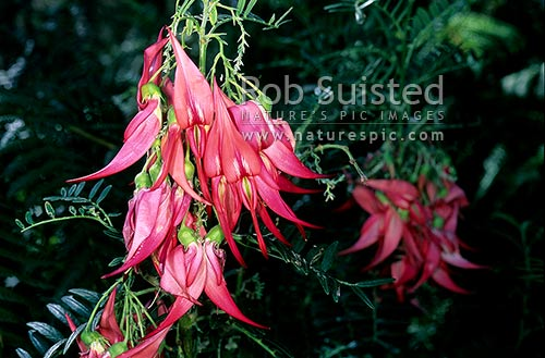 Kakabeak flowers (Clianthus puniceus), New Zealand (NZ) stock photo.