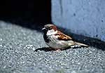 Male sparrow on concrete path