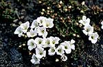 Matted Ourisia flowers