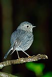 North Island Robin