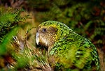Kakapo bird, rare NZ nocturnal parrot