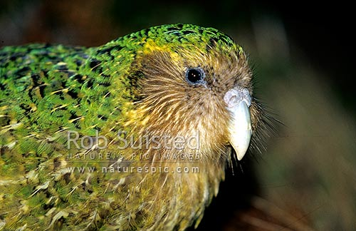 Critically endangered Kakapo (Strigops habroptilus), 'Trevor', Maud Island, Marlborough Sounds, New Zealand (NZ) stock photo.