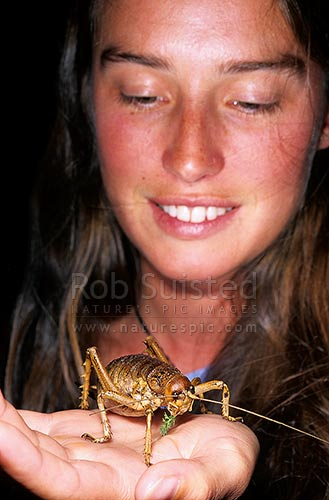 Alice Miller with Cook Strait Giant Weta (Deinacrida rugosa) - (*Model released), Maud Island, Marlborough Sounds, New Zealand (NZ) stock photo.
