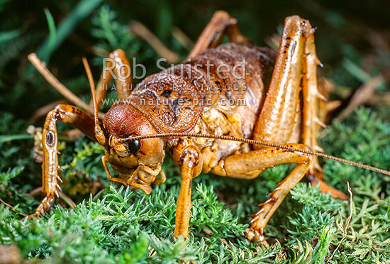 Cook Strait Giant Weta (Deinacrida rugosa), Maud Island, Marlborough Sounds, New Zealand (NZ) stock photo.