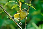 Native Bellbird