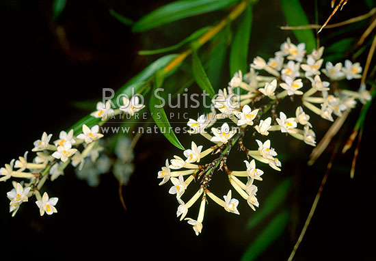Native Easter orchids (Raupeka) in flower - Earina autumnalis, Stewart Island, New Zealand (NZ) stock photo.