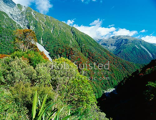 Southern Rata (Metrosideros umbellata) flowering above Otira Gorge; February, Arthur's Pass National Park, Selwyn District, Canterbury Region, New Zealand (NZ) stock photo.