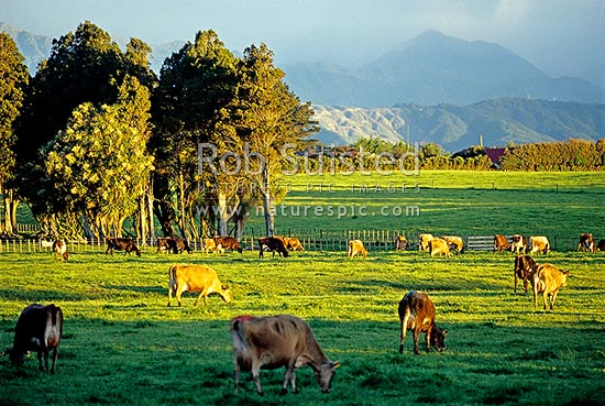 Dairy farming - Horowhenua, Levin, Horowhenua District, Manawatu-Wanganui Region, New Zealand (NZ) stock photo.