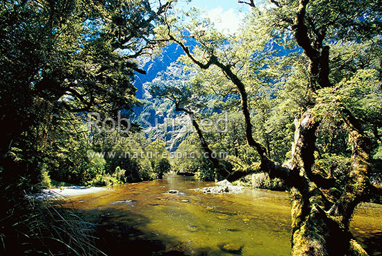 The Clinton River on the Milford Track - the 'finest walk in the world'. Silver Beech forest, Fiordland National Park, Southland District, Southland Region, New Zealand (NZ) stock photo.