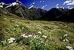 Mt Cook Lilies, Milford Track
