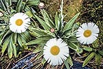 Mount Cook Daisies