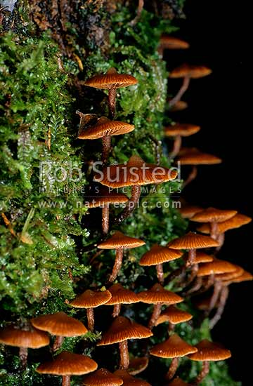 Native Fungi growing ona fern covered log, Takaka, New Zealand (NZ) stock photo.