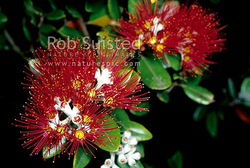 Pohutukawa (Metrosideros excelsa) flowers - New Zealand Christmas tree, New Zealand (NZ) stock photo.