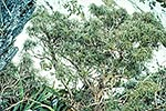 Mountain Olearia lacunosa bush