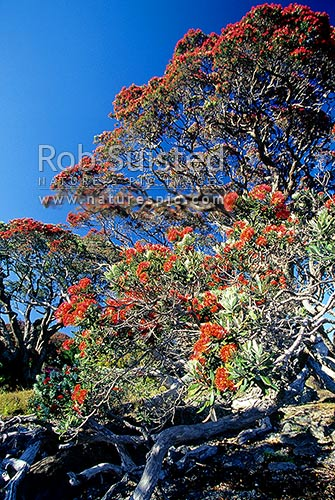 Pohutukawa trees (Metrosideros excelsa) flowering on the coast, Waihau Bay, Opotiki District, Bay of Plenty Region, New Zealand (NZ) stock photo.