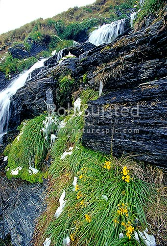 Yellow flowered snow marguerites (Dolichoglottis lyallii) next to alpine waterfall, Remarkables Mountains, Queenstown Lakes District, Otago Region, New Zealand (NZ) stock photo.