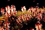 NZ sundews, carnivorous plants