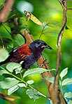 NI Saddleback bird