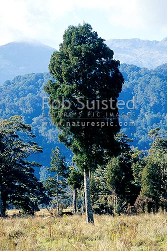 Kahikatea tree (Dacrycarpus dacrydioides) in clearing, Punakaiki, Buller District, West Coast Region, New Zealand (NZ) stock photo.