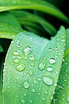 Water on leaves. Rengarenga lily