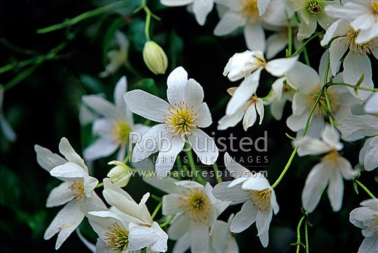 Native bush clematis / Puawhanganga flowers (Clematis paniculata), New Zealand (NZ) stock photo.
