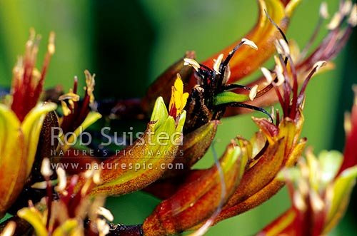 New Zealand mountain flax (Phormium cookianum) flower heads, New Zealand (NZ) stock photo.