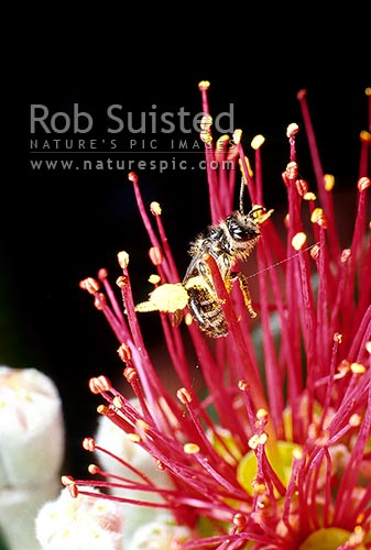 Native bee pollinating Pohutukawa flowers (Metrosideros excelsa) - note large pollen sacs, Rakino Island, New Zealand (NZ) stock photo.