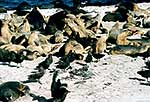 NZ Sea lion colony