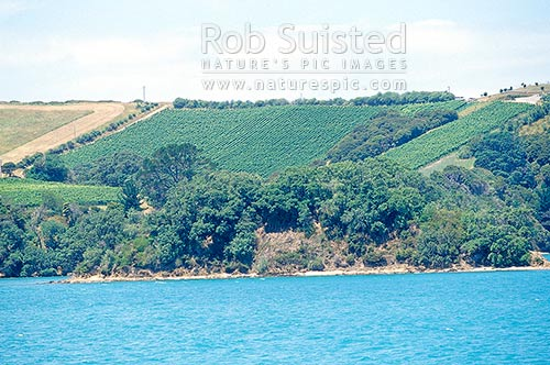 Grapevines on a hill above Wharetana Bay, Waiheke Island, Auckland City District, Auckland Region, New Zealand (NZ) stock photo.