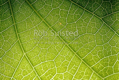 Close up of leaf of Kawakawa (Macropiper excelsum) showing vein pattern and structure, New Zealand (NZ) stock photo.