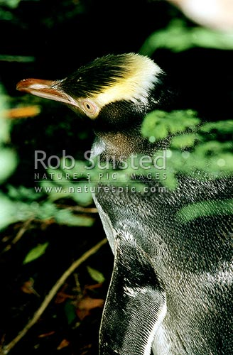 Close up of Yellow eyed penguin (Megadyptes antipodes) through fern, Enderby Island, Auckland Islands, NZ Sub Antarctic District, NZ Sub Antarctic Region, New Zealand (NZ) stock photo.