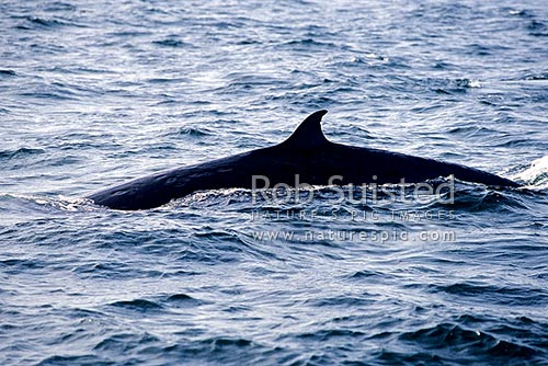 Bryde's whale showing dorsal fin (Balaenoptera edeni) in the Hauraki Gulf, Auckland, New Zealand (NZ) stock photo.