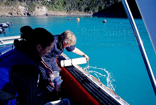 Department of Conservation Ranger (DOC) taking water samples for testing in Akaroa Harbour near marine farm, Akaroa, Banks Peninsula District, Canterbury Region, New Zealand (NZ) stock photo.