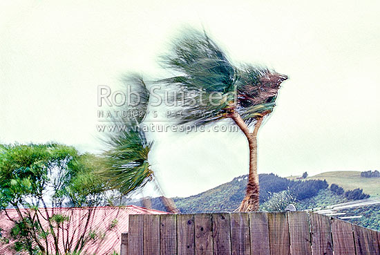 Cabbage trees (Cordyline australis) blowing in a strong wind / gale. Wellington Southerly wind, extreme weather, Wellington, Wellington City District, Wellington Region, New Zealand (NZ) stock photo.